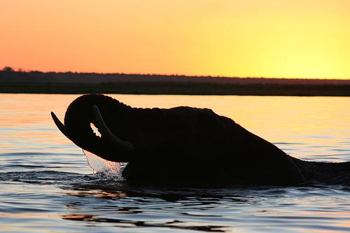 Elefante Africano. Hay alrededor de 500,000