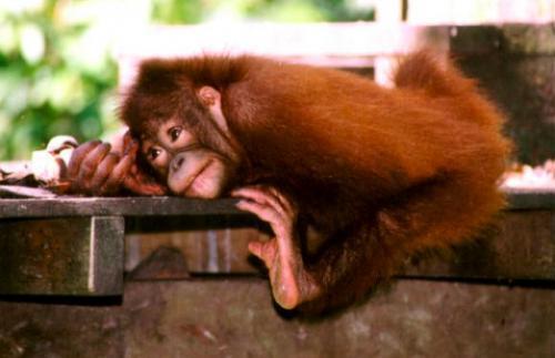 Orangutan. Alrededor de 62,000 orangutanes viven en el sudeste asiatico y en las islas de Borneo y Sumatra