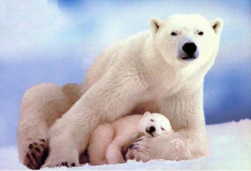 Oso Polar. Se estima que quedan 20,000-25,000 osos polares en el mundo.