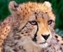 Guepardo. Se estima en 12,000 la cifra de guepardos en el mundo.
