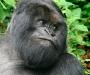 Gorila. Entre 2002 y 2004 se mataron más de 5.000 gorilas entre Gabón y Congo