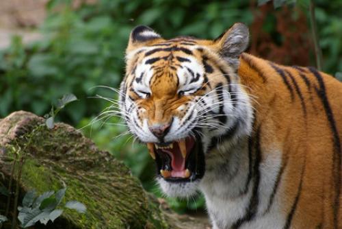 Tigre. Las previsiones más optimistas cifran su población en 2,500