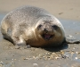 The Hooded seal