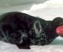 Hooded seal