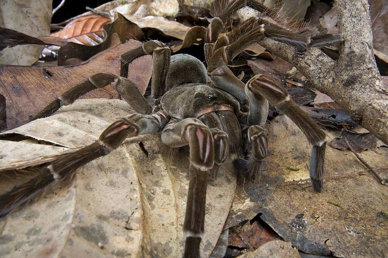 20 Araña Goliat comedora de pájaros