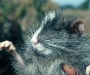 06 Rata chinchilla de los árboles