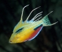 11 Flasher Wrasse