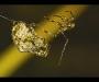 Una araña de jardín macho se aproxima a una hembra con la intención de aparearse. El acercamiento no tuvo éxito y ella lo mató. De Michael Hin