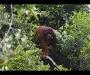Orangutan de Susan M. Cheyne