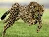 Guepardo africano