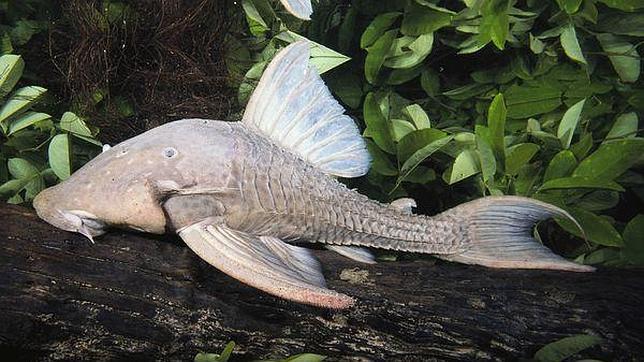 El pez que come madera