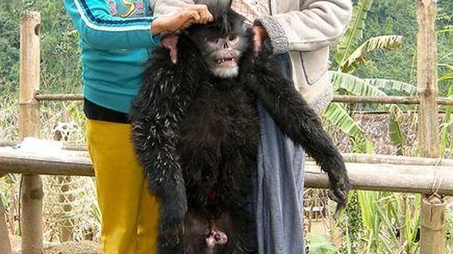 El mono de hocico chato