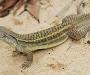El lagarto que se clona a si mismo