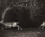 Ciervos en un bosque del norte de Michigan en 1903