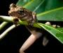 Posible nueva especie de rana