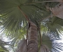 Tahina spectabilis. Pamera Tahina. Descubierta al noroeste de Madagascar, muere tras florecer.