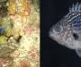 Chromis abyssus. Chromis azul profundo. Habita en zonas abisales, en el Pacífico.