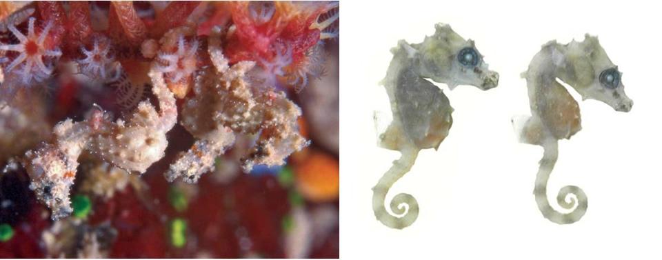 Hippocampus satomiae. Caballito de mar pigmeo de Satomi, el más pequeño conocido (13,8mm). Descubierto en islas Derawan.