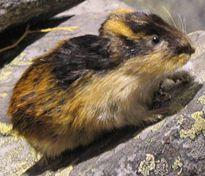 El cambio climático amenaza a los lemmings